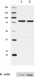 2_10D1_PURE_SSRP1_Antibody_1_WB_070616