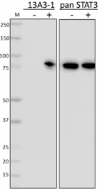 1_13A3dash1_PURE_STAT3_Tyr705_Antibody_WB_3_123118.png