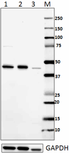 13H3A44_PURE_IRF1_Antibody_1_WB_062116