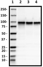 15B8_Purified_beta_Catenin_1_Antibody_1_040519.png