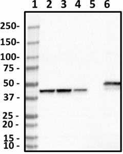 1A6-C7-G10_PURE_CKMT1_Antibody_1_062619
