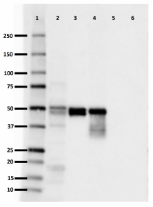 3H6dotH7_Purified_0N-Tau_Antibody_1_020619_updated.png