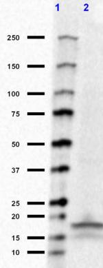 Purified anti-alpha-Synuclein, 103-108 Antibody anti-alpha