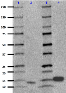 6B9H8_Purified_IL-17F_Antibody_WB_122018_updated.png