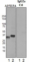 A15113A_PURE_Clusterin_Antibody_1_WB_011717