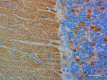 3-A17080A_PURE_Synapsin_Antibody_IHC-P_2_072018.png