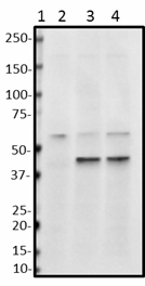 A17123A_PURE_TOMM40_Antibody_07202018