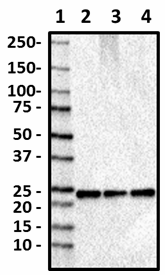 A18073A_Purified_RAB8_Antibody_1_050619.png