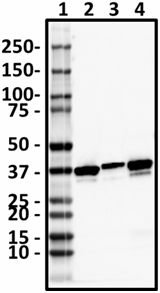 BL28553_Pure_Annexin-A1_Antibody_011519_updated