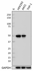 DO-1_Purified_p53_Antibody_031519_updated.png
