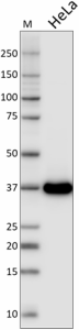 FF26A-F9_Purified_GAPDH_Antibody_031919