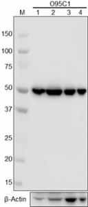 O95C1_PURE_beta-Tubulin_Antibody_WB_012618_updated