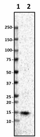 Poly28600_Purified_Lysozyme_Antibody_1_051519.png