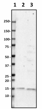 Poly28600_Purified_Lysozyme_Antibody_2_051519.png