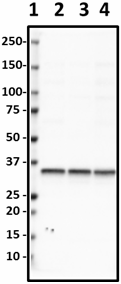 SP8_Biotin_Syntaxin_Antibody_1_012119_updated