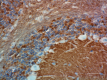 2_SP8_PURE_Syntaxin_Antibody_IHC_1_MB_051818