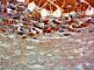 5-SP8_PURE_Syntaxin_Antibody_IHC_2_RB_051818.png