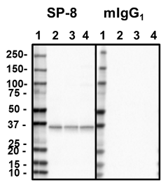 1_SP8_PURE_Syntaxin_Antibody_WB_051818
