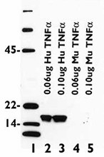 TNF-104C_Purified_TNF-a_Antibody_IHC_021315