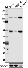 W16200A_PURE_NF-kB_Antibody_092817