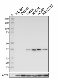 W18057A_PURE_Annexin-A2_Antibody_1_091619.png