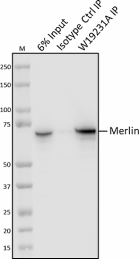 W19231A_PURE_Merlin_Antibody_2_040721.png
