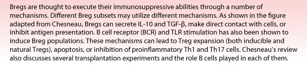 Bregs are thought to execute their immunosuppressive abilities through a number of mechanisms. Different Breg subsets may utilize different mechanisms. As shown in the figure adapted from Chesneau, Bregs can secrete IL-10 and TGF-?, make direct contact with cells, or inhibit antigen presentation. B cell receptor (BCR) and TLR stimulation has also been shown to induce Breg populations. These mechanisms can lead to Treg expansion (both inducible and natural Tregs), apoptosis, or inhibition of proinflammatory Th1 and Th17 cells. Chesneau's review also discusses several transplantation experiments and the role B cells played in each of them.