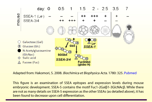 Adapted from: Hakomori, S. 2008. Biochimica et Biophysica Acta. 1780: 325. Pubmed. This figure is an examination of SSEA epitopes and expression levels during mouse embryonic development. SSEA-5 contains the motif Fuc1-2Galbeta1-3GlcNAcbeta. While there are not as many details on SSEA-5 expression as the other SSEAs (as detailed above), it has been found to decrease upon cell differentiation.