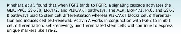 Kinehara et al. found that when FGF2 binds to FGFR, a signaling cascade activates the MEK, PKC, GSK-3β, ERK1/2, and PI3K/AKT pathways. The MEK, ERK-1/2, PKC, and GSK-3β pathways lead to stem cell differentiation whereas PI3K/AKT blocks cell differentiation and induces cell self-renewal. Activin A works in conjunction with FGF2 to inhibit cell differentiation. Self-renewing, undifferentiated stem cells will continue to express unique markers like Tra-2.