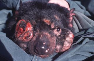 Tasmanian Devil Facial Tumour Disease