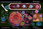B cell Development and Activation