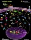 Chemokine Signaling Pathway