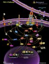 PKC-theta Pathway