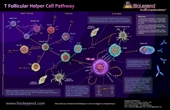 T Follicular Helper Cell Pathway