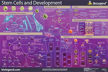Stem Cells and Development Poster
