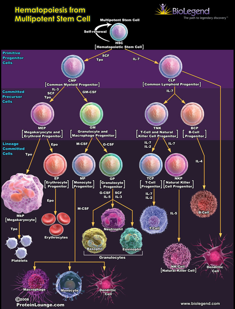 Hematopoiesis from Multipotent Stem Cell