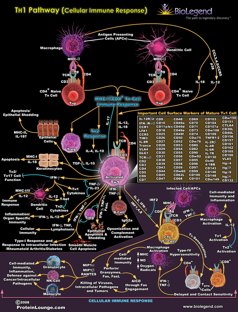 TH1 Pathway (Cellular Immune Response)
